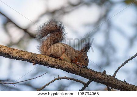 Squirrel Eats A Bark