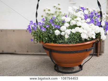 gardening, flowers, decoration and flora concept - beautiful bellflowers and chrysanthemums in pot outdoors
