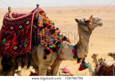 Camel parading his colours