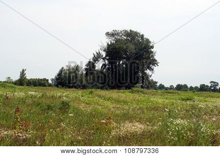Tall Trees on the Prairie