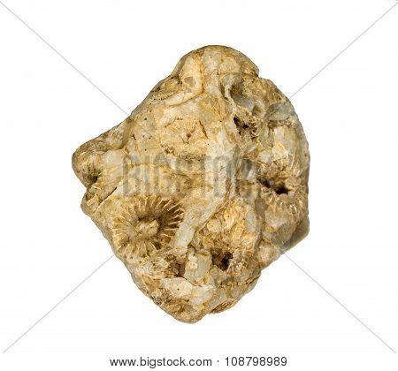 A fragment of fossilized hexacorallia in quartz