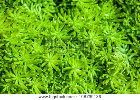 Moss In Close Up