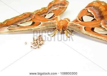 The Attacus Atlas