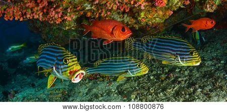 Sweetlips And Soldier Fish