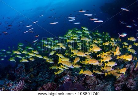 Shoal Of Sweetlips