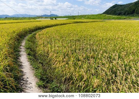 Walkway though Paddy rice