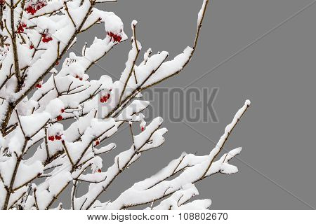 Isolated Branch Of A Mountain Ash On A Gray Background