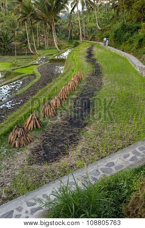 Rice Terraced Paddy Fields
