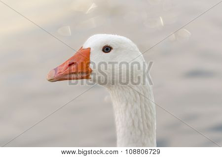 Portrait of a white goose.