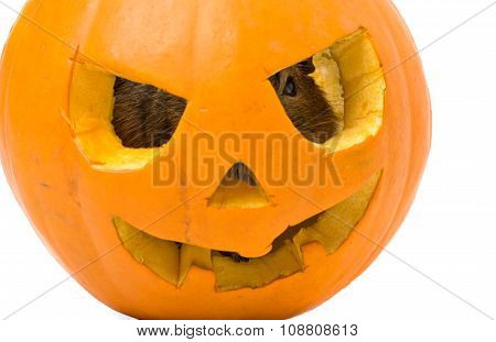 Halloween Pumpkin With A Rat Inside