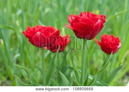 Red Fringed Double Tulips
