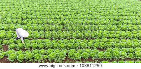 Woman peasant farmers with fields of cabbage