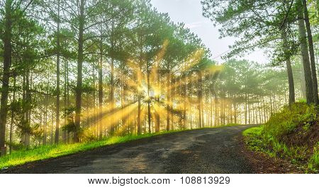 Sunray inside pine forest