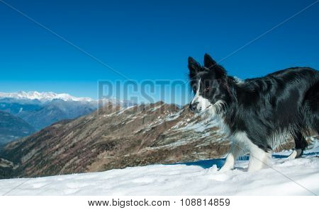 Border Collie Alone  In The Top Of The Mountain With Snow