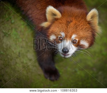 Red Panda Looking Surprised