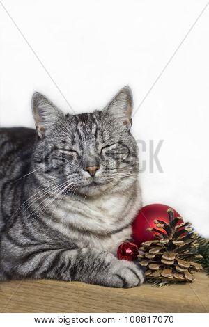 Tabby Cat Awaiting Christmas