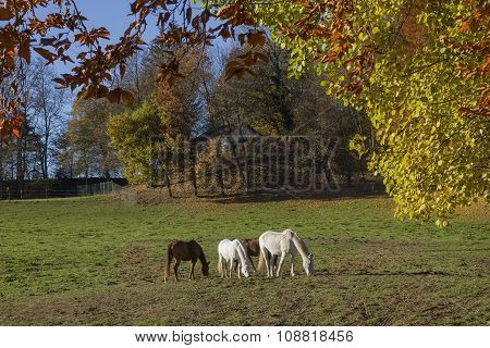Grazing Horses On The Meadow, Autumnal Edge Of The Wood
