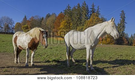 Sunbathing Horses On The Meadow, Autumnal Edge Of The Wood