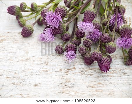 Canada Thistle Weed Flowers