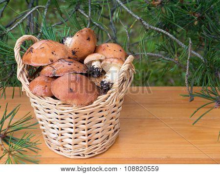 Slippery Jacks Mushrooms In The Basket Under Pine Tree