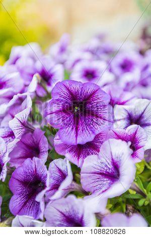 Purple Petunias Close-up