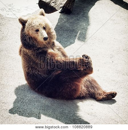 Brown Bear (ursus Arctos Arctos) Sitting On The Ground And Licks His Paw