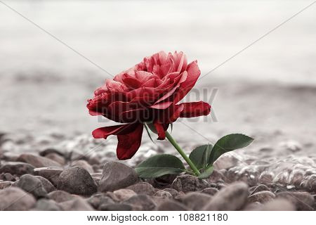 One Red Rose Flower At The Stony Beach