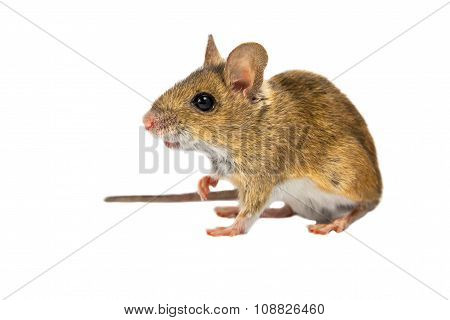 Field Mouse On White