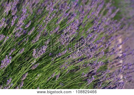 Lavender In Field Of Provence