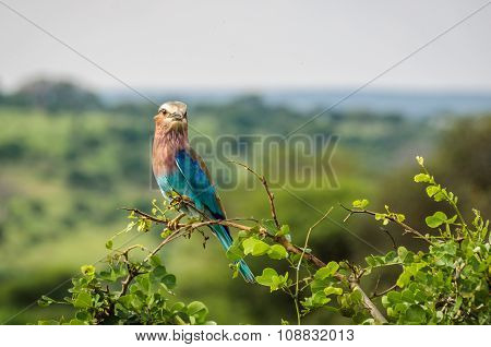 Colorful Bird In The Tarangire Park, Tanzania