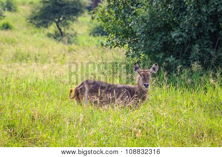 Waterbuck In The Tarangire Park, Tanzania