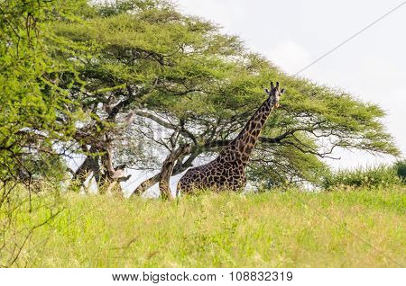 Giraffe In The Tarangire Park, Tanzania