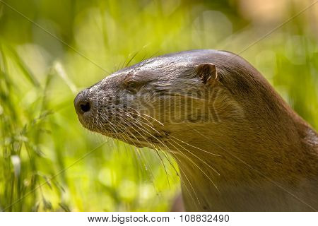 Portrait Of A European Otter