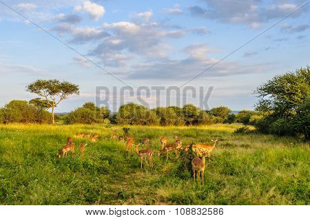 Impalas At Sunset In The Tarangire Park, Tanzania