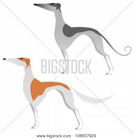 Two isolated elegant greyhounds on white