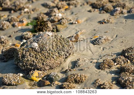 Acorn Barnacles On A Large Stone From Close