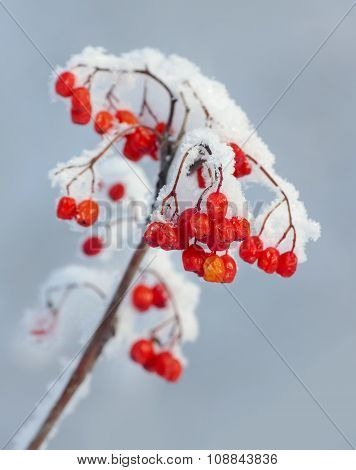 The branch of snowy mountain ash