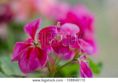 Pink Flower Geranium