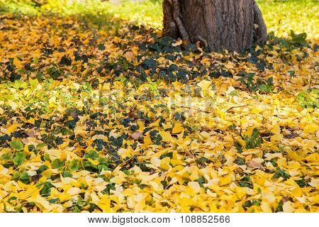 Fallen Ginkgo Biloba Leaves In The Autumn