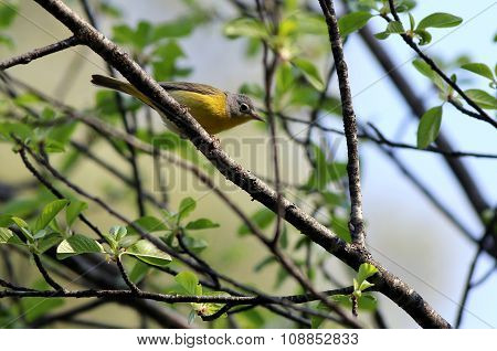 Nashville Warbler Perched on a Branch