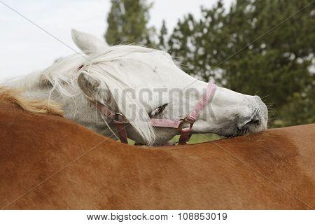 Horses Preen