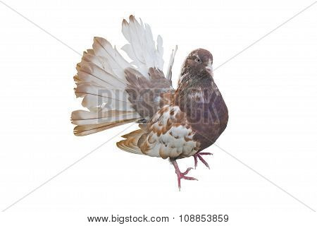 Big Beautiful Pigeon Bird