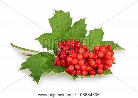 Viburnum (viburnum Opulus) Berries With Its Leaves Isolated On White