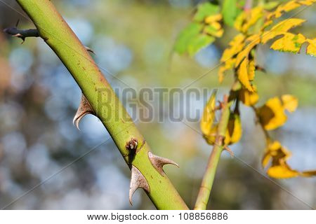 Twig With Thorns