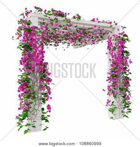 Pink flowers bougainvillea