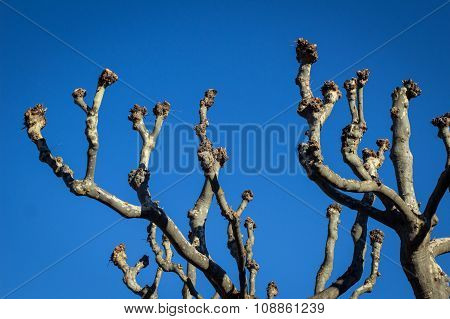 Plane Tree Branches