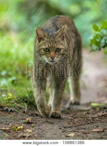 Walking European Wildcat
