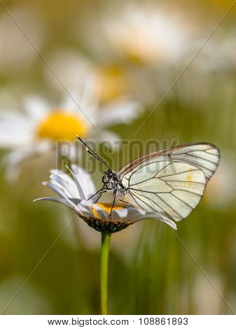 Black Veined White On Daisy