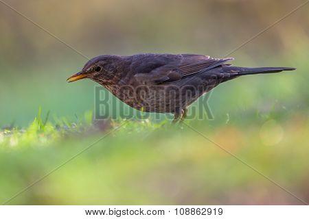Female Common Blackbird Profile