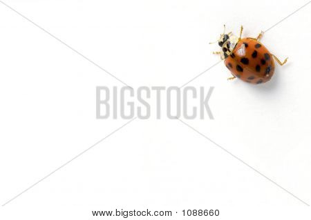 Isolated Ladybug Crawling